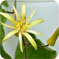 Passiflora Substrat